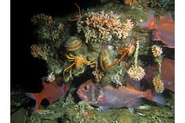Kaltwasserkorallenriff © Tomas Lundälv