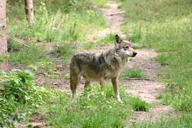 freilebender Wolf © U. Tichelmann - Freundeskreis freilebender Wölfe e.V.