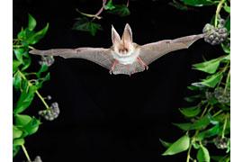 Langohr-Fledermaus © VDN/Podany & Leibig