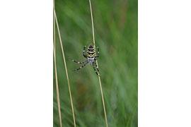 Wespenspinne © Museum für Natur und Umwelt, Foto Susanne Füting