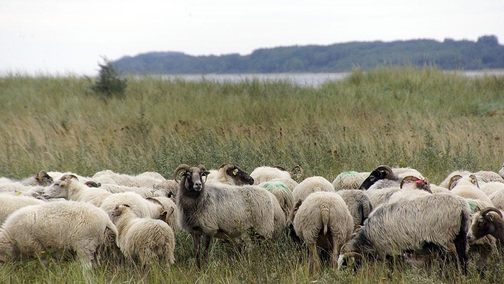 Schafe auf dem Priwall in Travemünde ©TraveMedia