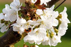 Kirschblüten © TraveMedia