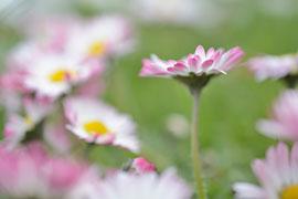 Gänseblümchen © VDN/S.M.