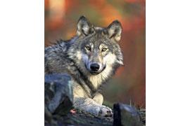 Wolf © Pixabay