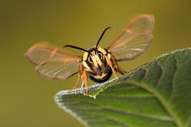 """Der """"Hochstapler"""" (Sesia apiformis) = Hornissen-Glasflügler © Ingo Arndt"""