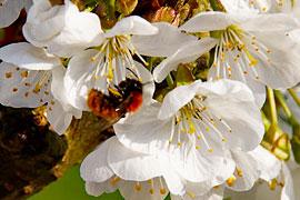 Kirschblüte mit Biene © TraveMedia