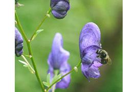 Eisenhut mit Wildbiene © VDN/Rena4444