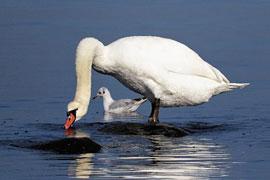 Höckerschwan mit Lachmöwe © Sylvia Behrens