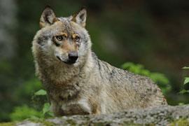 Wolf © VDN/Christian Schmalhofer