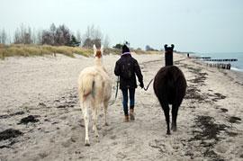 Lama-Wanderung an der Ostsee © Lama-Karawane