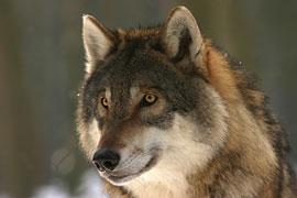 Wolf © Steffi Heufelder - Pixabay