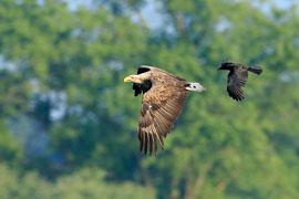 Seeadler © Tim Peukert