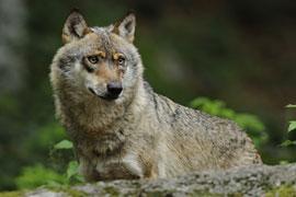 "Wolf © VDN/Christian Schmalhofer"""
