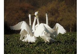 Singschwäne auf den Feldfluren am Dassower See © Sylvia Behrens